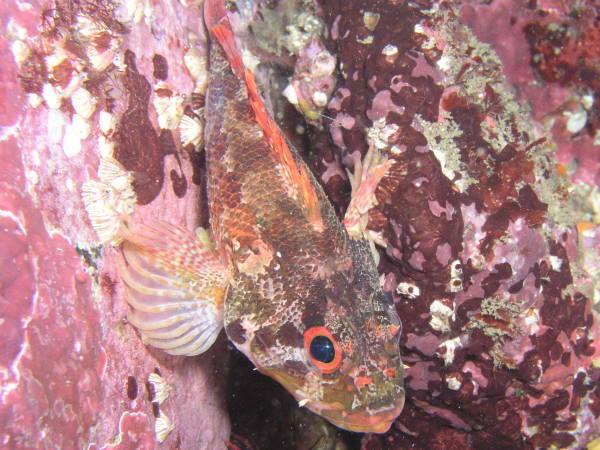 背ビレに毒のある目の赤いイソカサゴ