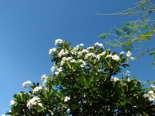 プルメリアの白い花