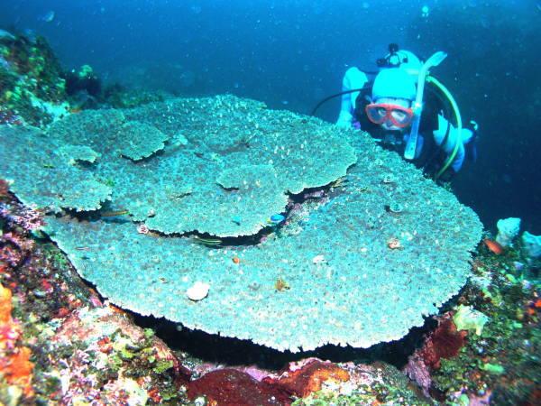 大島テーブルサンゴ
