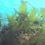 江之浦のワカメ養殖今年も断念 水温高くて育たない 873