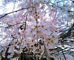 玉蔵院枝垂桜