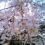 浦和の枝垂れ桜、今が見ごろ玉蔵院 889