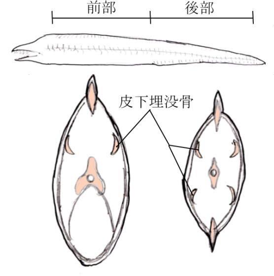 ウツボの骨 皮下埋没骨 trevalliesocean