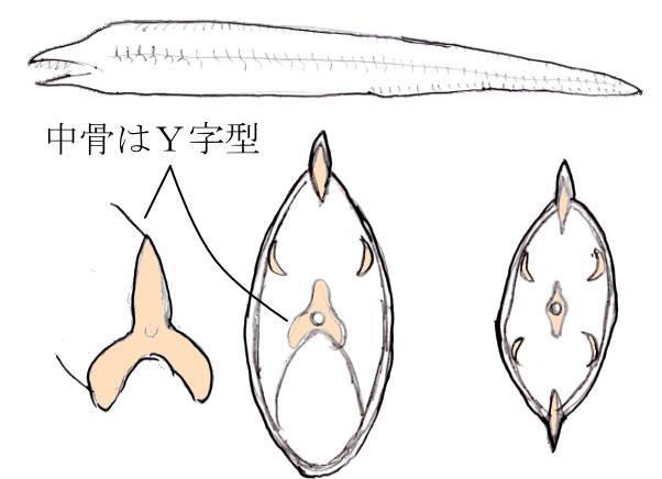 ウツボの骨 trevalliesocean