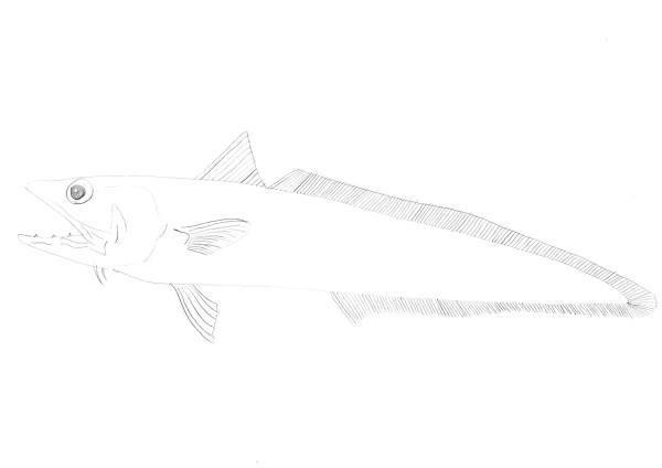 ホキ 深海魚