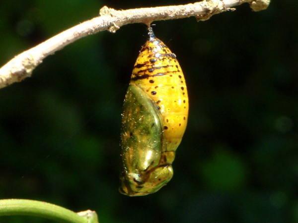 オオゴマダラの金色のサナギ