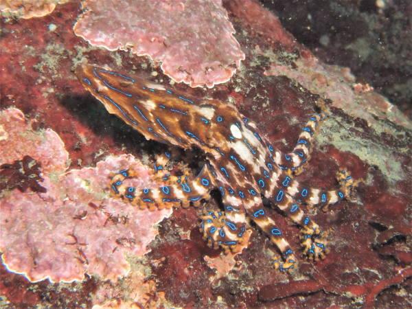 ヒョウモンダコ(blueringed octopus )
