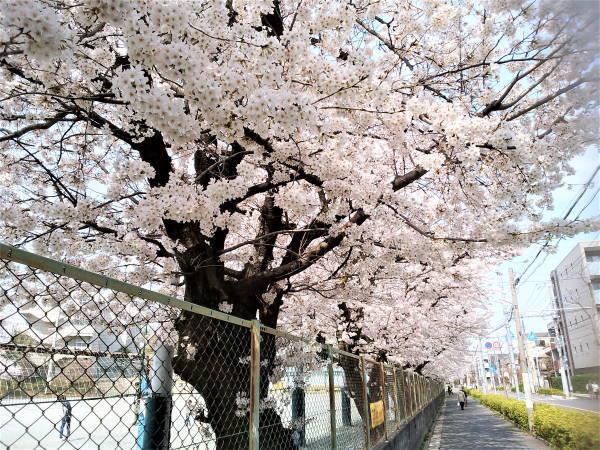 桜満開3月さいたま
